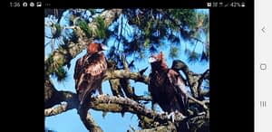 Wedge-tailed Eagles in Arawat