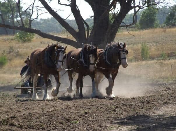 vintage plowing by horse