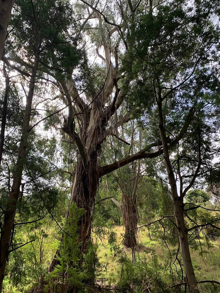 stunning huge gum trees